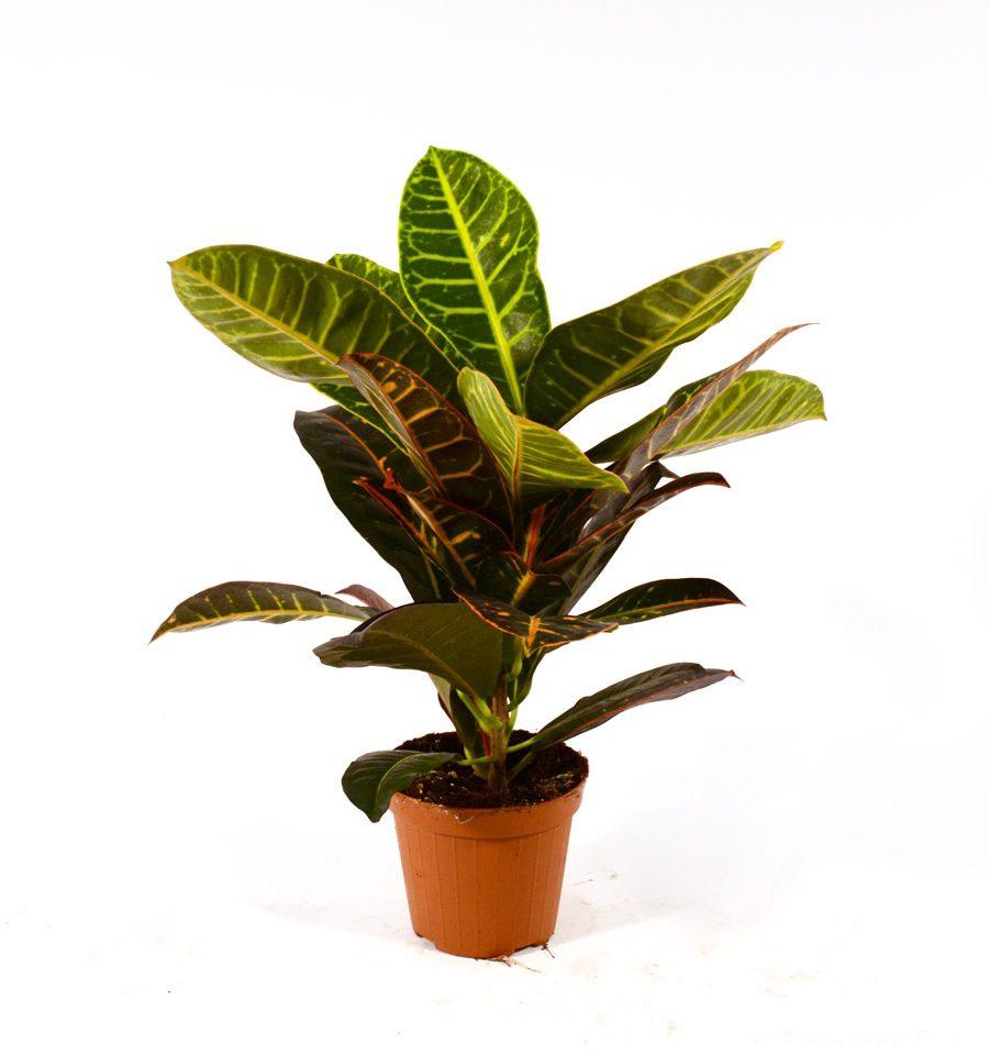 Croton_ Losi Flores