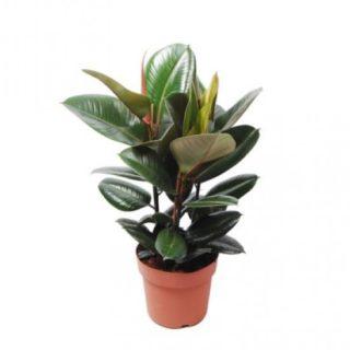 Ficus Robusta Elastica
