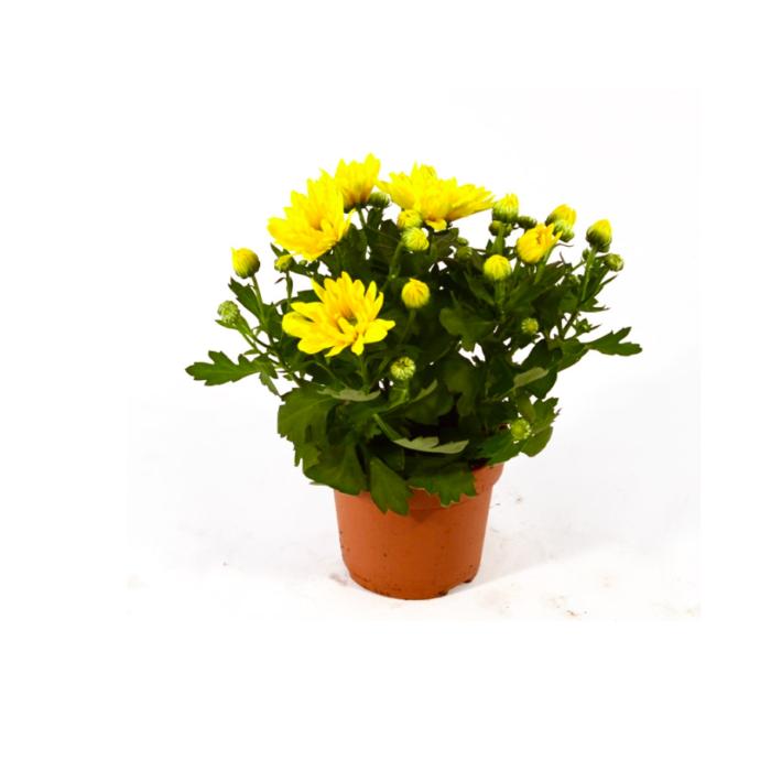 Crisantemo Margherita
