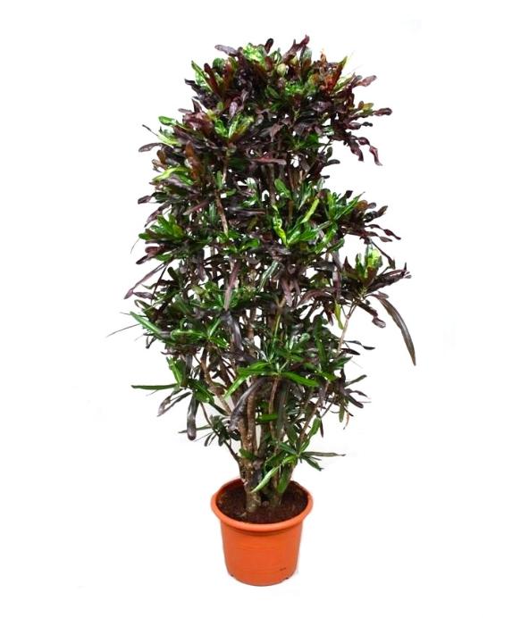 Croton Curly