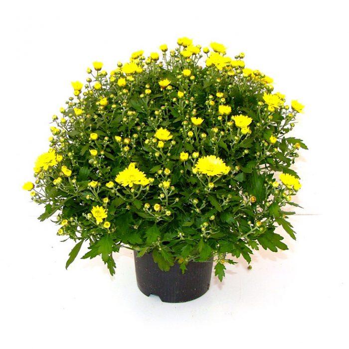 Crisantemo Coreano Losi Flores